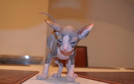 Sphynx Kittens Ready Now For Sale