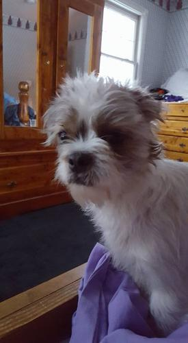 Spike Shih Tzu Young Adoption Rescue For Sale In Bowling Green