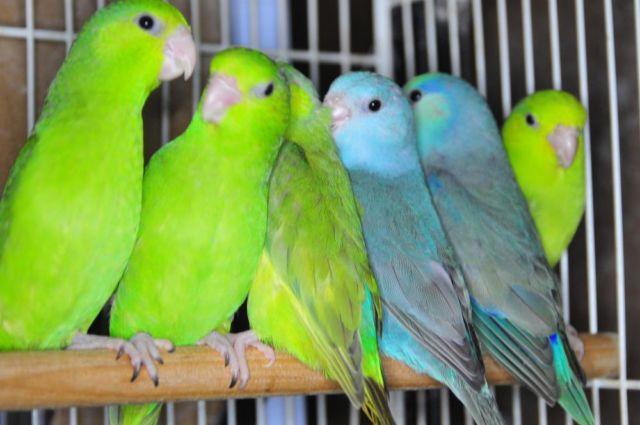 Parrotlet Sale Split Grey:parrotlet Sale