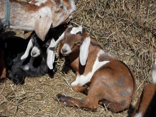 Spotted Mini Nubian Goat Kids