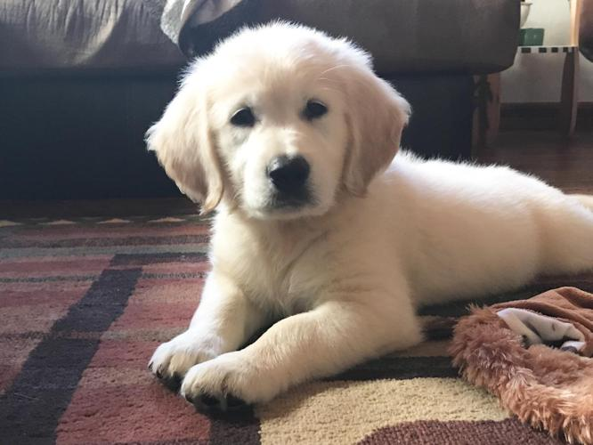 golden retriever puppies for sale in illinois spring akc english creme golden retriever puppies for 7440