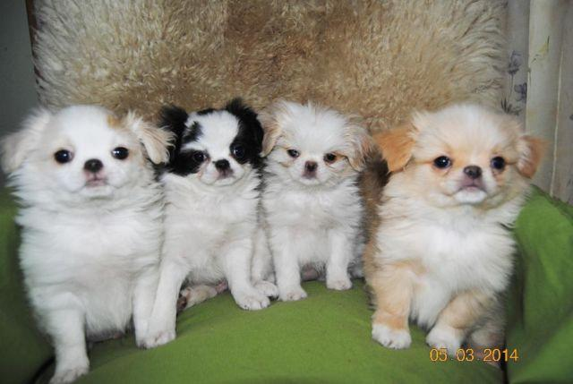 japanese chin shih tzu quot spring puppies quot japanese chin shih tzu cross for sale 4173