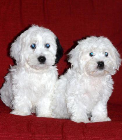 SpringerDoodle Puppies