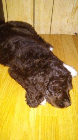 Springerdoodle puppy for Sale in Dunnellon, Florida Classified