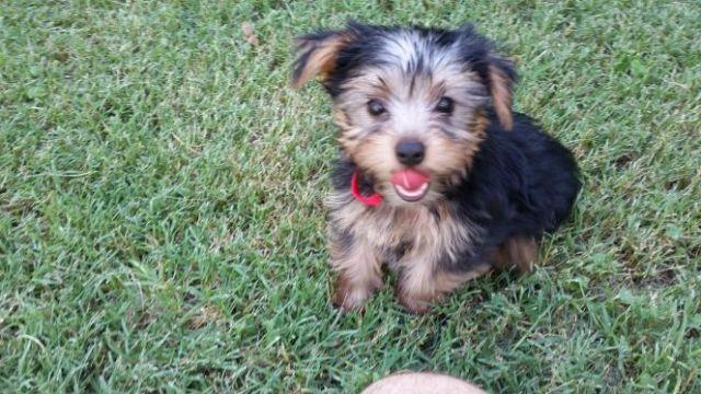 Teacup Yorkie Puppies For Sale In Missouri Classifieds Buy