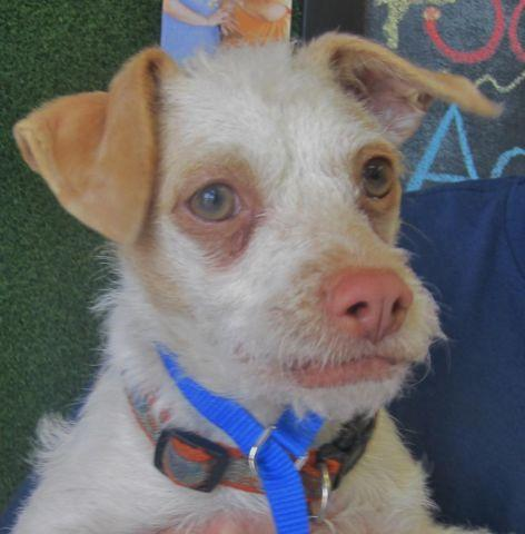 Squiggy 7 Month Old Jack Russell Wire Haired Terrier Mix For Sale
