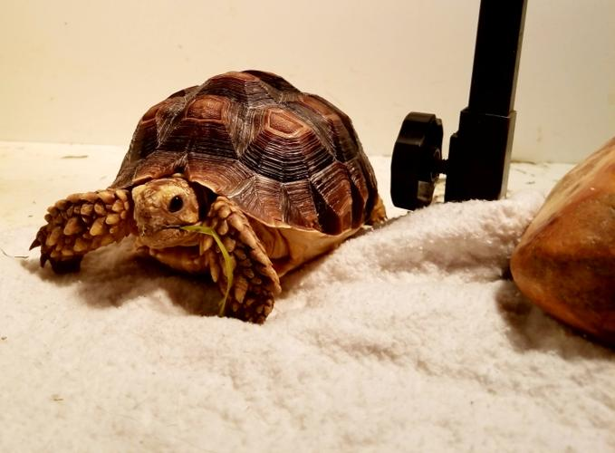 Squirt Sulcata Young - Adoption, Rescue for Sale in Pasco