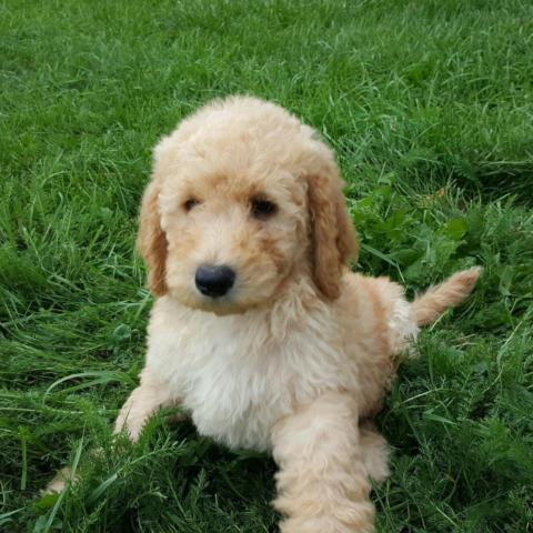 Standard poodle akc ready to go