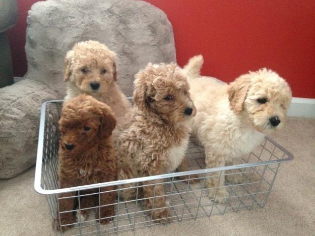 Standard Poodle for Sale in Alexandria, Indiana Classified