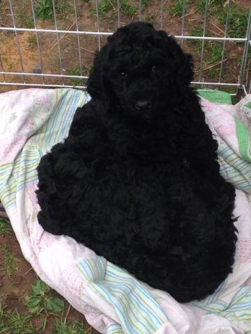 Phantom Standard Poodle For Sale In Washington Classifieds