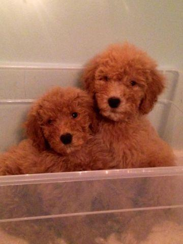 Standard Poodle Puppies- Price Reduced!!