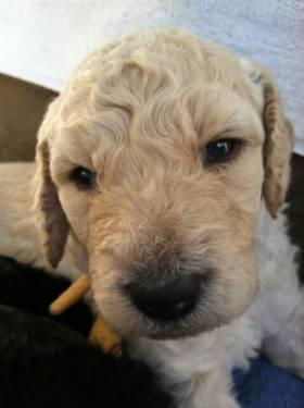 Standard Poodle puppies ~ 2 left!!!!!