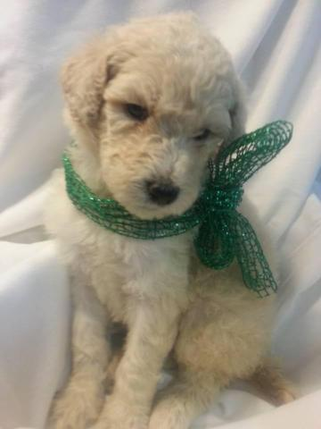 Standard Poodle Puppies For Sale In Columbus Ohio