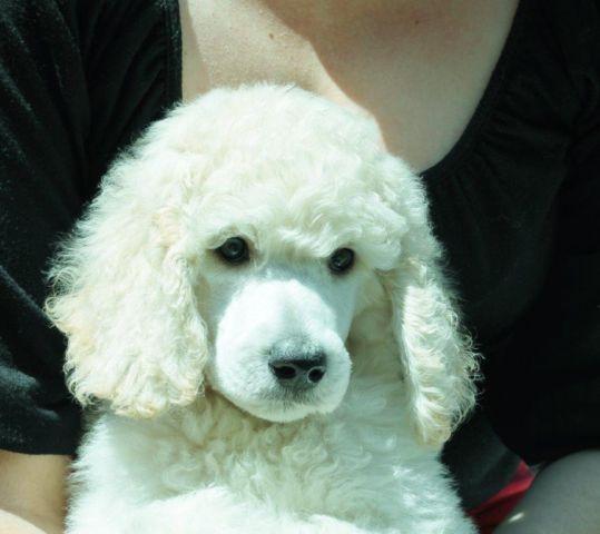 Standard Poodle Puppie...