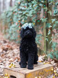 Standard Poodle Puppy for Sale - Adoption, Rescue for Sale