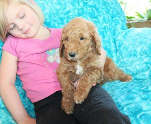 Poodle Puppies For Sale In Spokane Washington Classifieds