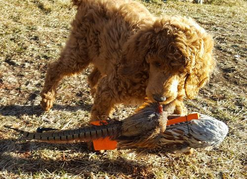 Standard Poodle Puppy For Sale Adoption Rescue For Sale In