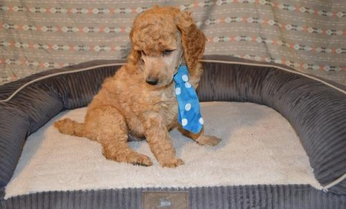 Poodle Standard For Sale In Tennessee Classifieds Buy And
