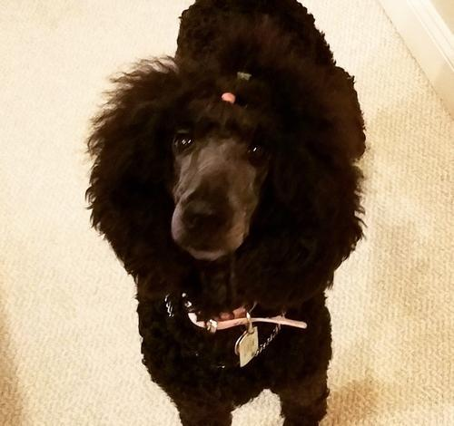 Standard Poodle Puppy for Sale - Adoption, Rescue