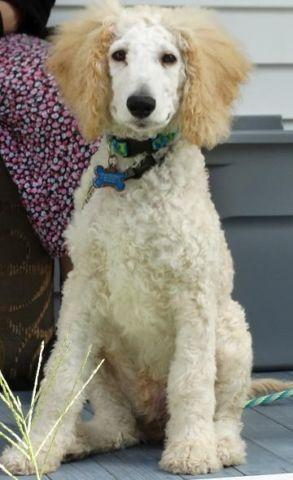 Standard Poodle Puppy Male- 4 months