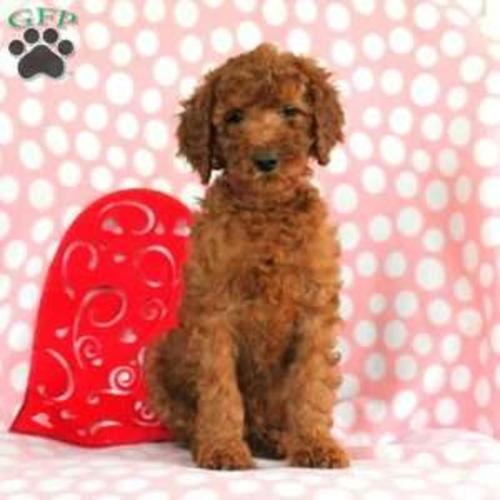 Standard Poodle Purebred Litters For Sale For Sale In