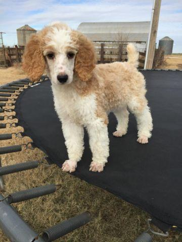 Standard Poodle Red & White Parti 11 wk old - Rosie
