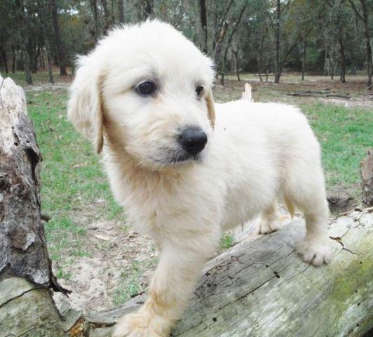 Standard Size F1 English Cream Goldendoodle Puppies