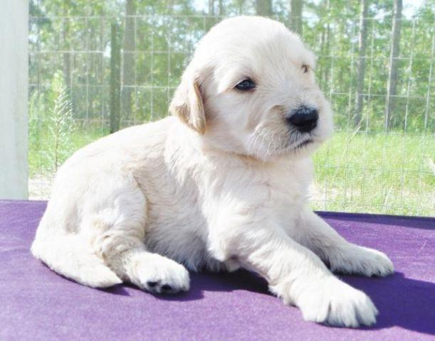 Standard Sized F1 English Cream Goldendoodle Puppies for ...