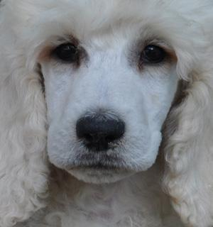 Standard Poodle Puppies on Standard Poodle Puppies A K C Parti S  Solid And Phantoms For Sale In