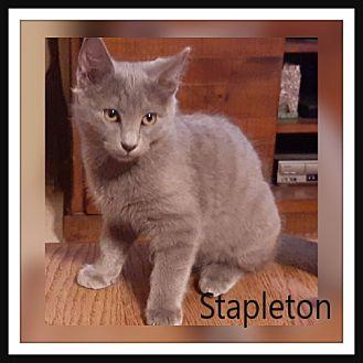 Stapleton Domestic Shorthair Young Male