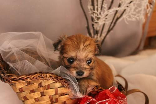 Shih Tzu Poodle Pets And Animals For Sale In Ohio Puppy