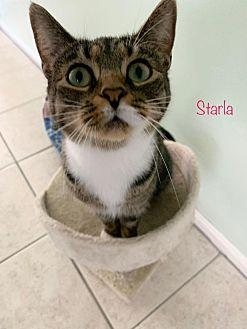 Starla Domestic Shorthair Young Female
