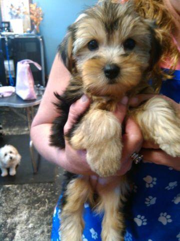 Stinking Cute Yorkie Puppies