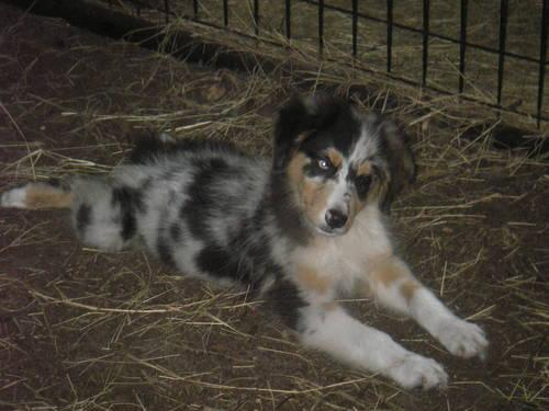 STRIKING!Handsome and great FUN-Mini aussie male