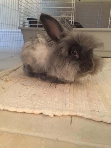 American Fuzzy Lop Rabbits Classifieds Buy Sell American