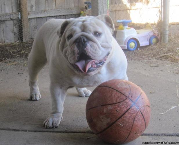 """Aninimal Book: """"STUD FEE"""" All White AKC CH English Bulldog for Sale in ..."""