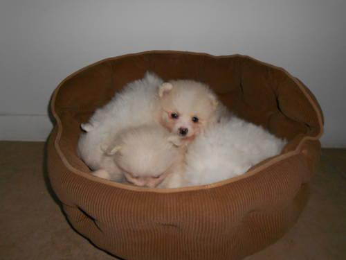 STUNNING 6 WEEK OLD POMERANIAN PUPPIES!!! $1100-$1300