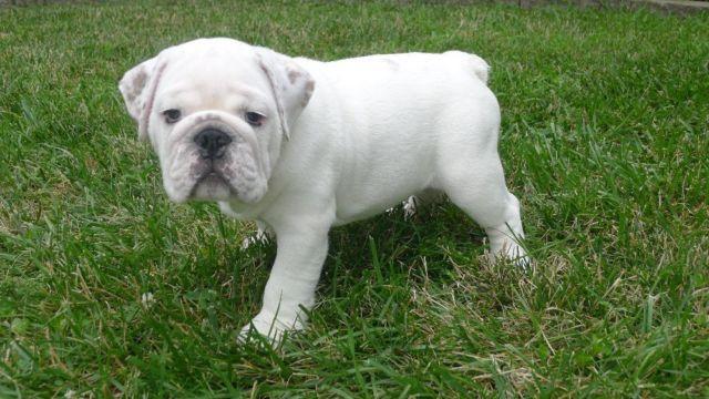 Stunning AKC English Bulldogs - 11 weeks old