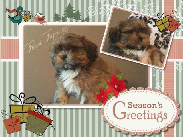 Stunning Akc Male Shih Tzu Puppy Available Now For Sale In