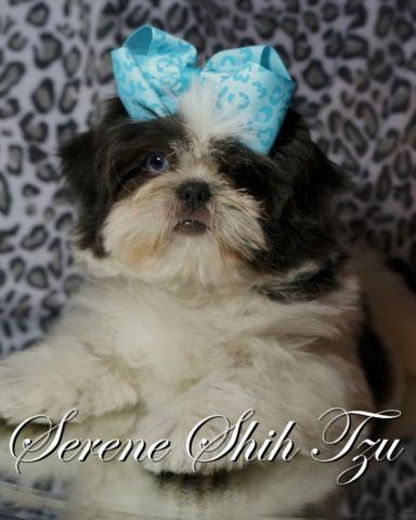 Stunning Blue Eyed Shih Tzu Female For Sale In Fort Worth Texas