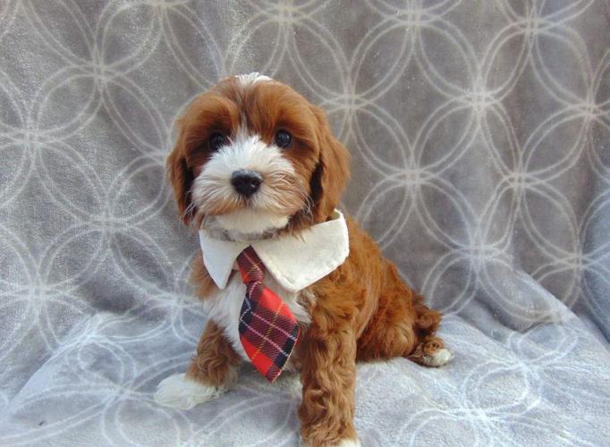 Stunning Cavapoo Pups!!