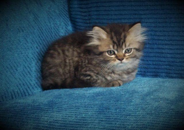 STUNNING CFA PERSIAN MALE KITTENS FOR SALE