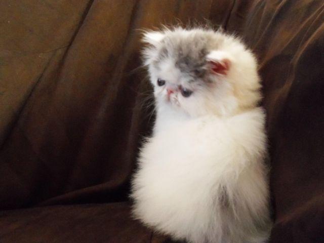 purebred cat rescue east coast