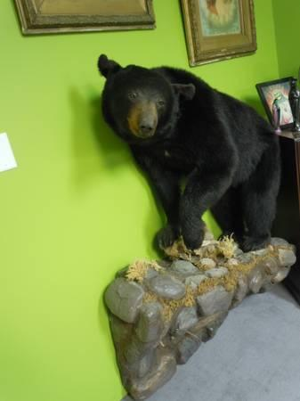 Stunning Classic Complete Support Taxidermy Dk Brown Bear - $800