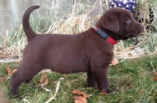 Stunning English Labs AKC Registered