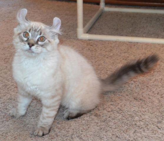 Stunning Highlander Kittens Valentine S Day Special For Sale In