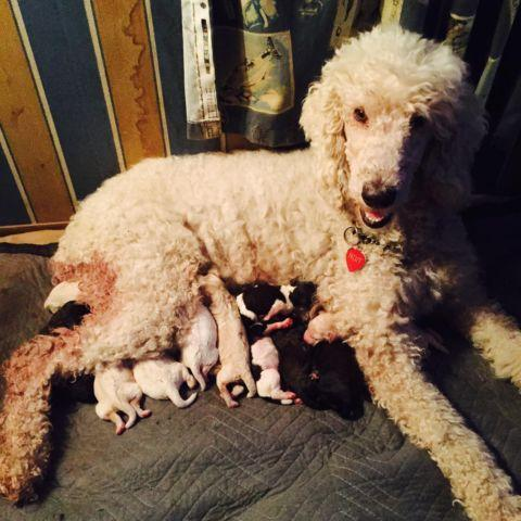 Stunning Litter Of 12 Multi Colored Standard Poodles For