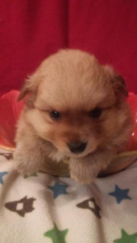 Stunning Male Pomeranian Puppy For Sale For Sale In Caddo Oklahoma