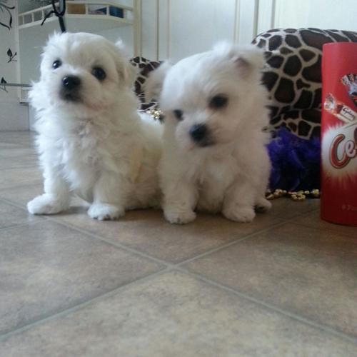 Pets And Animals For Sale In Mcallen Texas Puppy And Kitten