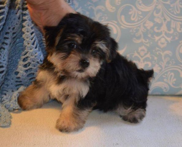 Stunning Maltese Yorkie Male Puppies Morkies For Sale In Big Cove